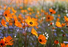 Namaqualand desert flowers