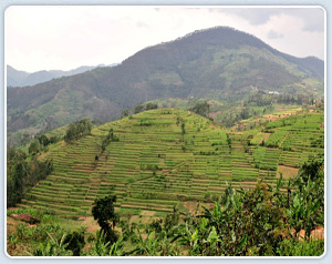A hillside of climbing beans in Ruhengeri, northwestern Rwanda