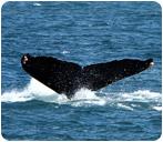 Whale Festival