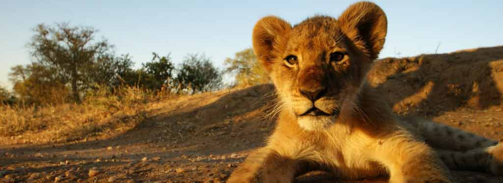 Lion cub. Click to see details of 10% off promotion.